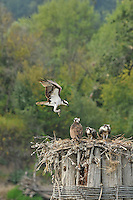 Osprey bringing food to fledged juveniles on Multnomah Channel bordering Sauvie Island, Oregon