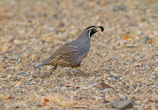 California Quail (Callipepla californica), male running, Mono Lake Basin, California, USA