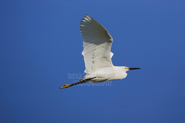 Snowy Egret (Egretta thula), adult in flight, Sinton, Corpus Christi, Coastal Bend, Texas, USA