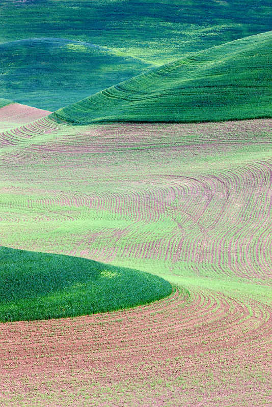 New spring wheat growth. The Palouse, near Colfax, Washington.