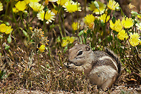 679513014 a wild whitetail antelope squirrel ammospermophilus leucurus leucurus feeds in front of wildflwower display in joshua tree national park san bernardino county california united states