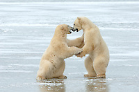 Two juvenile male polar bear occupy their time play-fighting while waiting on Hudson Bay to freeze over.