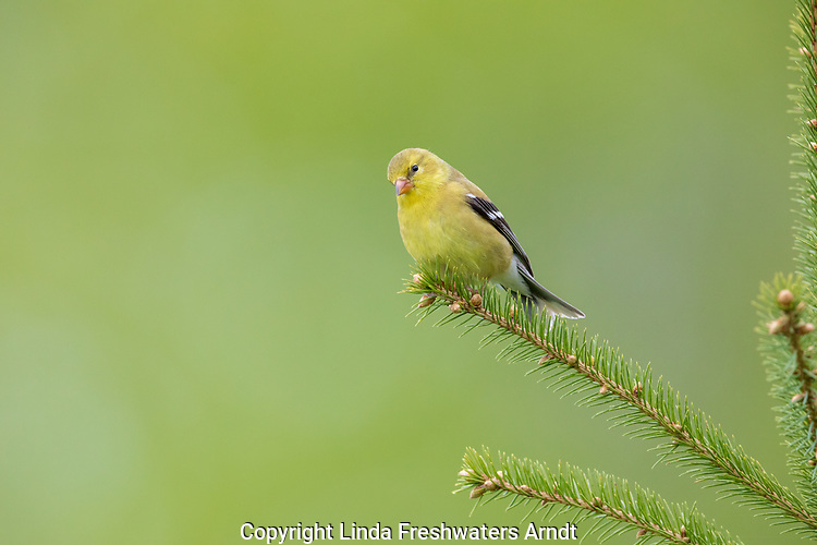 Female American goldfinch perched in a spruce tree.