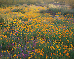 Organ Pipe Cactus National Monument, AZ<br /> Late sun backlighting Mexican gold poppies, Owl's clover, fiddleneck, and Coulter's lupine on Puerto Blanco Drive
