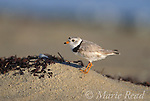Piping Plover (Charadrius melodus), male, breeding plumage,<br /> Martha's Vineyard, Massachusetts, USA. Endangered species in USA. <br /> Slide B52-337