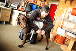 Ski patrolman Shawn Williams buckles a work harness on his avalanche rescue lab, Ziggy.  They are stationed at the ski patrol hut on the summit of Crested Butte ski resort, Colorado.