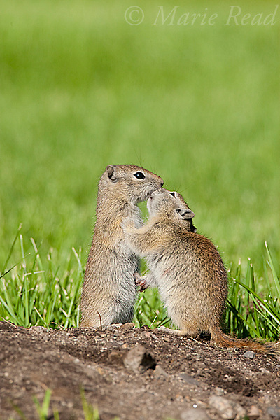 "Belding's Ground Squirrels (Spermophilus beldingi), two appear to be ""kissing"" but are sniffing facial scent gland secretions to aid in kin recognition,  Mono Lake Basin, California, USA"
