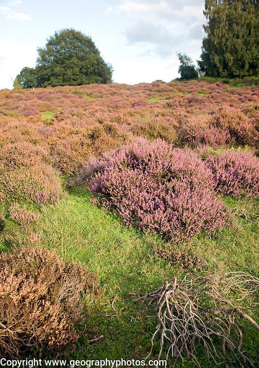 Shallow depth of field heather plants heathland, Shottisham, Suffolk
