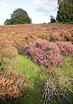Shallow depth of field heather plants heathland, Shottisham, Suffolk