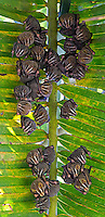 Tent-making bats often perch lower to the ground under large leaves and fronds.