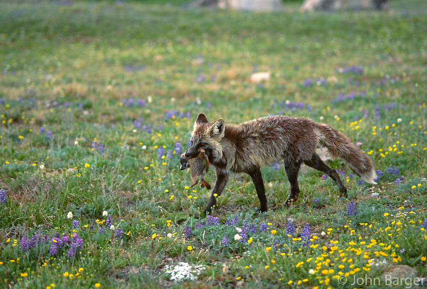 35-M05-FR-104    RED FOX (Vulpes vulpes) cross phase carrying a mouthful of ground squirrels, near Beartooth Pass, Shoshone National Forest, Wyoming, USA.