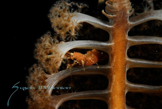 Shrimp on Sea Pen, Lembeh Straits, Sulawesi Sea, Indonesia, Amazing Underwater Photography