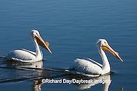 00671-008.12 American White Pelicans (Pelecanus erythrorhynchos)  Riverlands Environmental Demonstration Area,  MO