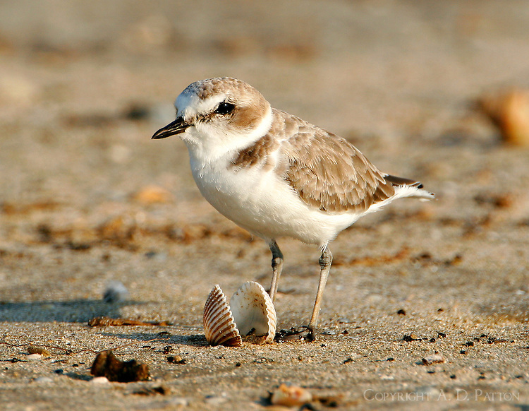 Juvenile snowy plover