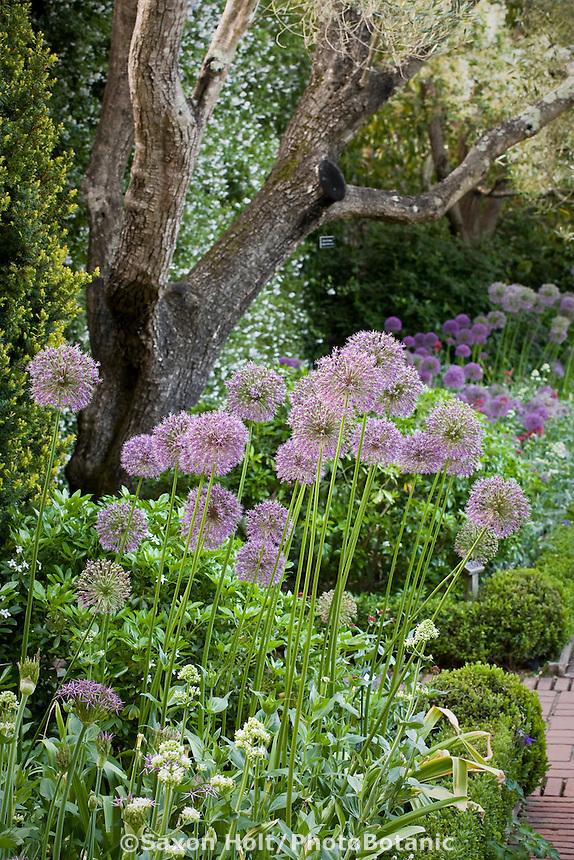 Mixed garden bed with ornamental onions (Allium rosenbachianum)