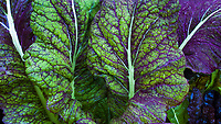 Red mustard greens, leaves with white veins in california vegetable garden, Marin Art and Garden Center