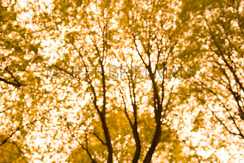 THIS IMAGE IS AVAILABLE EXCLUSIVELY FROM CORBIS.....Please search for image # 42-19639392 at www.corbis.com....Trees and Fall Foliage in Central Park, Autumn, Soft Focus/Defocused effect