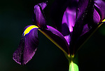 Wild Purple Iris Flower, Andalusia, Andalucia, close up of flowering head.Spain....