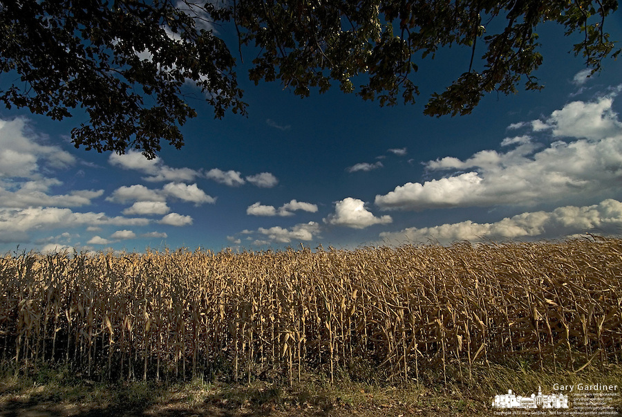 Corn drying on the stalk at a farm near Jones, Ohio.<br />