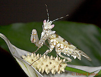 "0223-07pp  Spiny Flower Mantis (#9 Mantis) - Pseudocreobotra wahlbergii ""Female"" - © David Kuhn/Dwight Kuhn Photography"