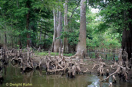 BS06-010z  Louisiana Swamp, cypress trees, Atchafalaya Swamp