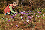 February 2, 2012. Hillsborough, NC.. Nancy Goodwin weeds one the patches of lavender tommies that dot her property..  Nancy Goodwin, who used to run a mail order nursery for rare bulbs, has now preserved her gardens, which in winter, have thousands of blooming flowers and plants, including many rare species which she has cultivated and planted from seeds.
