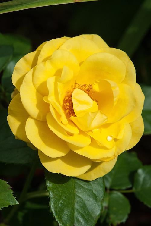 Rosa Nurse Tracey Davies ('Frykookie'), early August. A golden yellow floribunda rose bred by Gareth Fryer in the UK.