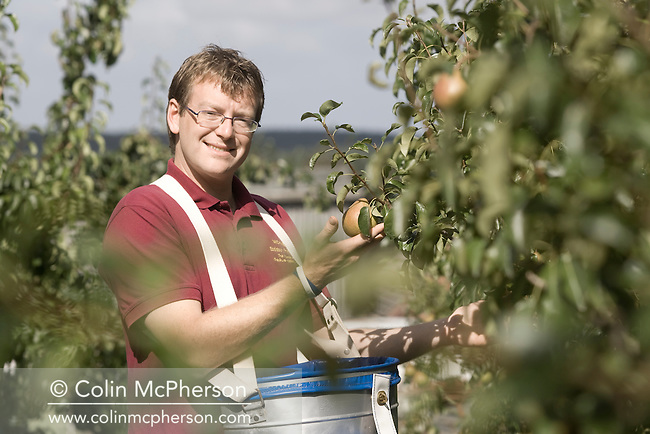 Farmer Michael Dykes picking pears at Eddisbury Fruit Farm, Kelsall, Cheshire in north west England. The farm specialised in Conference and Comice pears and other fruit which it supplies to shops and sells through farmers' markets in the region. It also used it's crops to make fruit juices and cider.