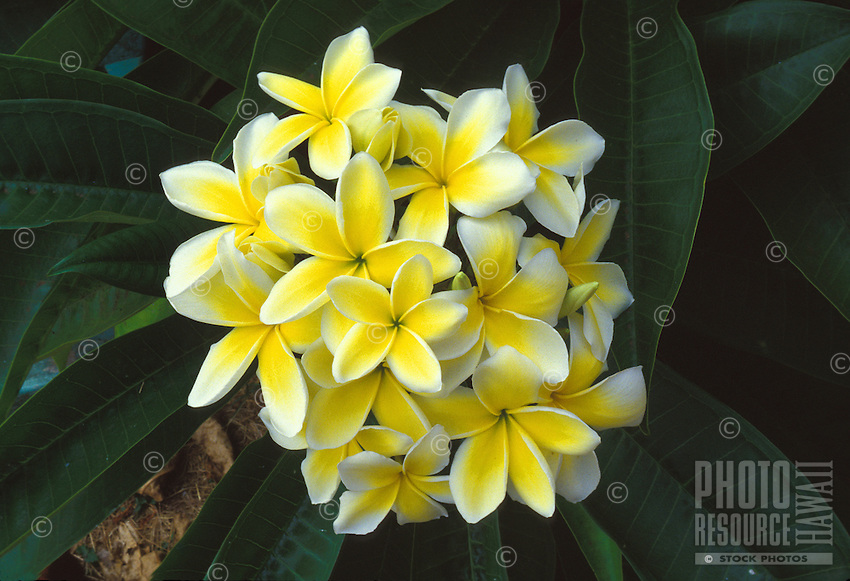 Plumeria, or frangipani (apocynacae), a fragrant blossom often used in lei-making
