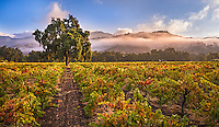 Summer Morning, Calistoga