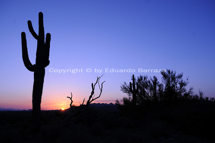 Apache Junction, Arizona. The Saguaro Cactus is native to the Sonoran Desert in the state of Arizona. Combined with sunsets, saguaro cactus and other species of the flora create spectacular scenery typical of the American Southwest. At sunset like this one, the peculiar, tall and imposing shape of saguaros contrast beautifully with the sky and silhouettes formed by the mountains and other flora of the Sonoran Desert. This area is part of the Lost Dutchman State Park is located in the area of the Superstition Mountains in the Sonoran Desert, 40 miles east of Phoenix, Arizona. The park takes its name from a fabled lost gold mine. Photo by Eduardo Barraza © 2011