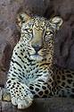 Male Arabian Leopard (Panthera pardus nimr) at the Arabian Wildlife Centre & captive-breeding project, Sharjah, United Arab Emirates. (captive)