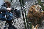 Foto: VidiPhoto<br /> <br /> ARNHEM &ndash; De mannetjesleeuw Thor in Burgers' Zoo heeft voor het oog van dierentuinbezoekers een vrouwtjesleeuw doodgebeten. Omdat er geen medewerkers in de buurt waren is niet bekend wat er precies is gebeurd. Het dodelijke incident vond vanmiddag plaats op een plek waar geen camera's hangen. Drie bezoekers die het incident hebben gezien, vertelden de verzorgers dat het mannetje de vrouwtjesleeuw had doodgebeten. Uit gevonden sporen in de sneeuw is duidelijk geworden dat de dieren, een mannetje en drie vrouwtjes, onlangs nog bij elkaar geslapen hebben. Omstreeks 15.00 uur hoorden verzorgers, die achter het verblijf bezig waren, lawaai en gebrul. Zij gingen naar voren en zagen de dode leeuwenvrouw in een hoek liggen. Het leeuwenverblijf is inmiddels afgezet voor het publiek. De verzorgers hebben door een hek te plaatsen het zicht op het leeuwenverblijf voor bezoekers onmogelijk gemaakt. De tienjarige Thor is in het park geboren. Twee jaar geleden zijn daar drie vrouwtjes uit Zweden bij gekomen om een harem te vormen. Het vrouwtje dat is gedood was de laagste in rangorde. Al eerder is er in Burgers&rsquo; Zoo een leeuw doodgebeten. Foto: Archieffoto van Thor tijdens zijn bezoek aan de tandarts.