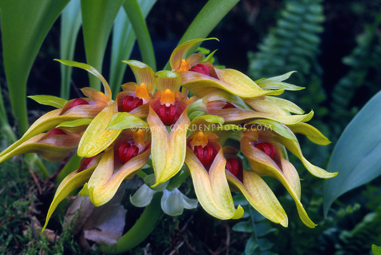 Bulbophyllum graveolens, orchid species