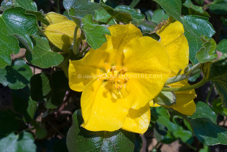 Fremontodendron 'California Glory' flannel bush vine in closeup of yellow flowers and bud and foliage leaves