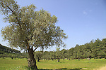 Israel, Upper Galilee, Olive grove in Achihood forest