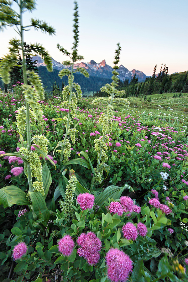 Tatoosh Range above meadow full of subalpine spiraea, Edith Creek, Mount Rainier National Park, Pierce County, Washington, USA
