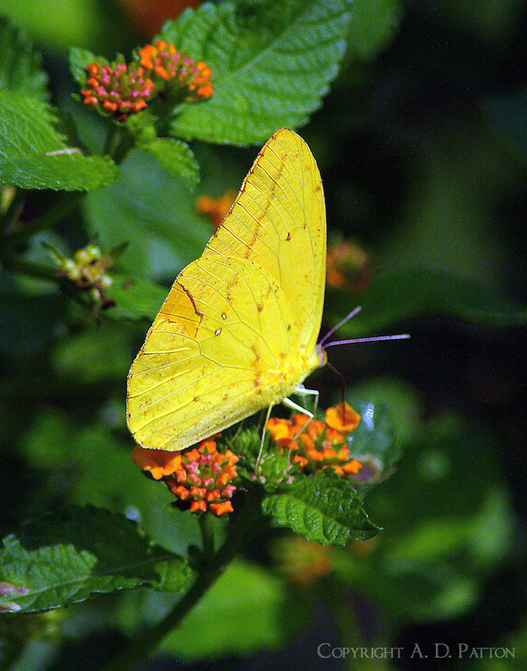 Large orange sulphur on butterfly weed