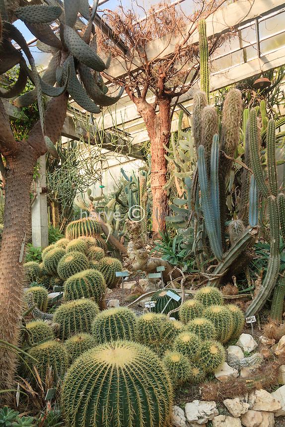 France, Alpes-Maritimes (06), Saint-Jean-Cap-Ferrat, le jardin botanique des C&egrave;dres:<br /> dans une serre, Echinocactus grusonii, Delonix floribunda (arbre plafond), Opuntia...