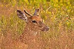 Young Buck - Shenandoah National Park, pastoral images for peace of mind.