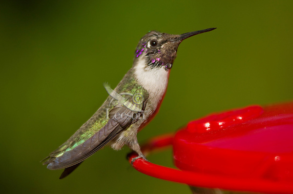 Immature male Black-chinned Hummingbird (Archilochus alexandri)