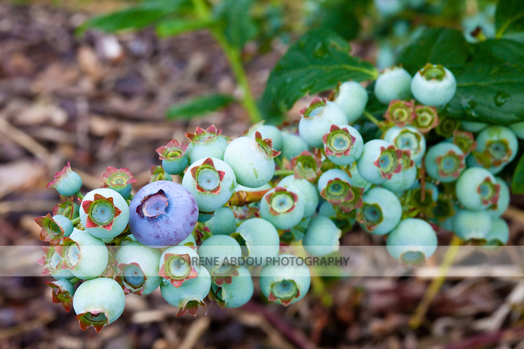 Blueberries grow on the vine at Butler Orchards in Germantown, MD.