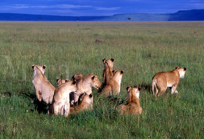 Pride of lions, Masai Mara National Reserve, Kenya,