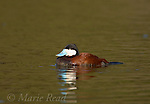 Ruddy Duck (Oxyura jamaicensis) male, Huntington Beach, California, USA