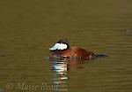 Ruddy Duck (Oxyura jamaicensis) male, Huntington Beach, California, USA