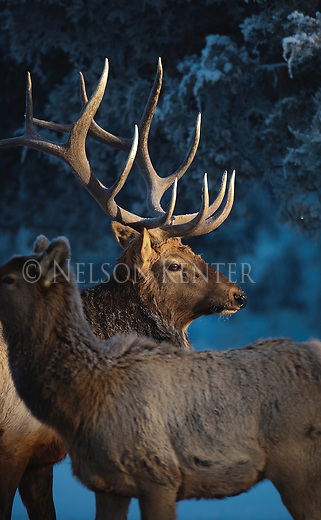 Bull elk and cow in early snow