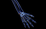 An anterior view of the bones of the right hand. Royalty Free