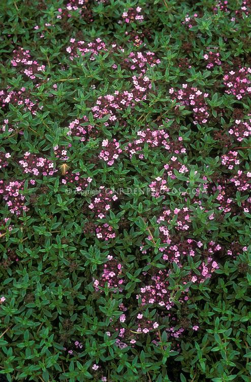 Thymus herba-barona in flower, thyme herb in bloom, single cut sprig on white background