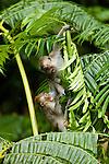 Long-tailed Macaque (Macaca fascicularis) juveniles play-fighting, Tawau Hills Park, Sabah, Borneo, Malaysia