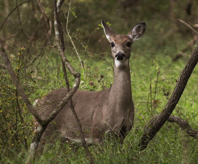 Deer seen in the Esopus Bend Nature Preserve, in Saugerties, NY, on Wednesday, September 27, 2017. Photo by Jim Peppler. Copyright/Jim Peppler-2017.